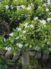Geldbaum Pflege  Pflanzenfreunde