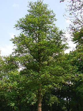 Schwarzerle Black Or Common Alder Alnus Glutinosa Bei