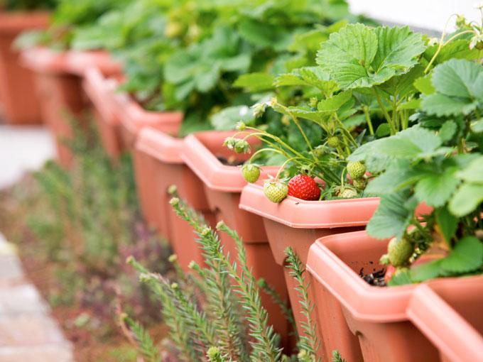 Erdbeeren im Blumenkasten. So einfach ernten Sie die leckeren Früchte.