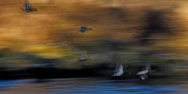 An der Traun: Fluss in Oberbayern. Enten über dem Fluss