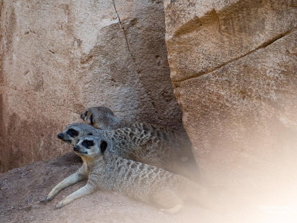 Leizpiger Zoo: Drei Erdmännchen für Charlie