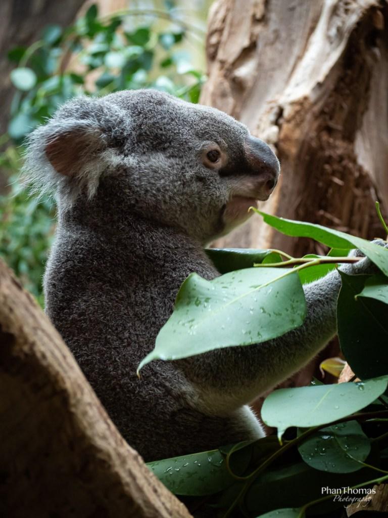 Leipziger Zoo: Koala beim Mittag