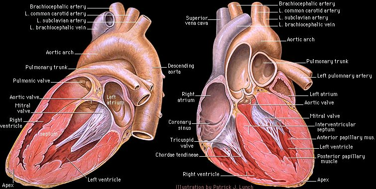 anatomical heart diagram cuts of lamb diagnosis and causes pulmonary hypertension