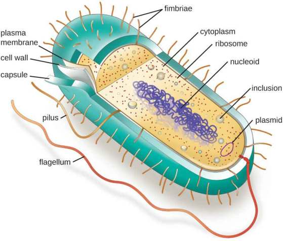 Differences between prokaryotic and eukaryotic cells: Picture of prokaryotic cell