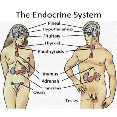 Endocrine System Diagram Carrier Oil Furnace Wiring Introduction To Anatomy Of The Human Male Female