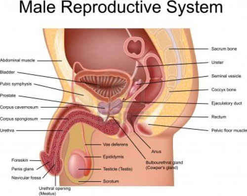 small resolution of introduction to anatomy of the male reproductive system