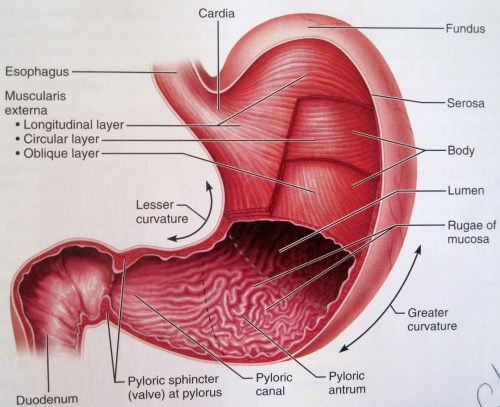 small resolution of human anatomy physiology of the stomach
