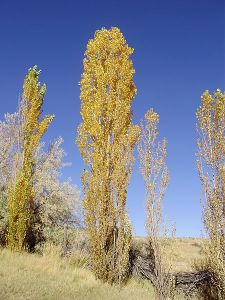 450px-2012-10-17_P1010234_Lombardy_Poplar_along_Clubine_Road_in_Lamoille_Valley