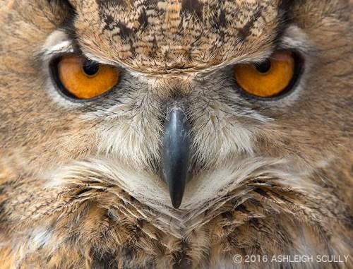 Ashleigh Scully owl