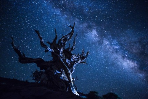 Bristlecone Pine ~ Beverly Houwing