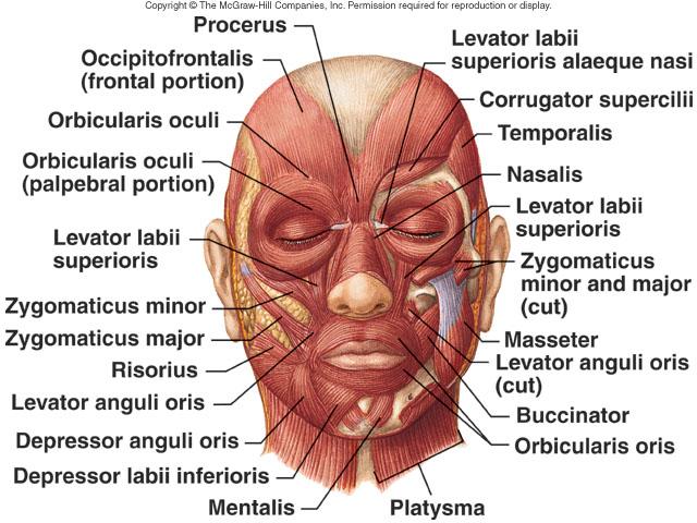 facial bones diagram not labeled 1988 toyota pickup starter wiring philip graham » blog archive the hidden face