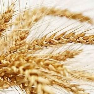 Yellow Wheat Spikes