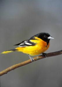 baltimore-oriole-950579_1280