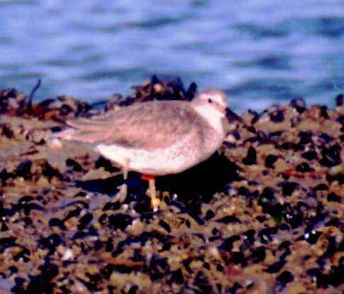 B95 aka Moonbird Seen in Tierra del Fuego 03/15