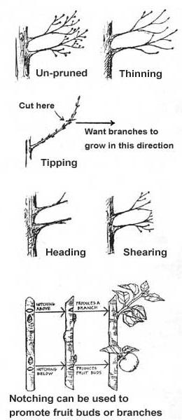 POP Pruning Guide: Fruit Trees