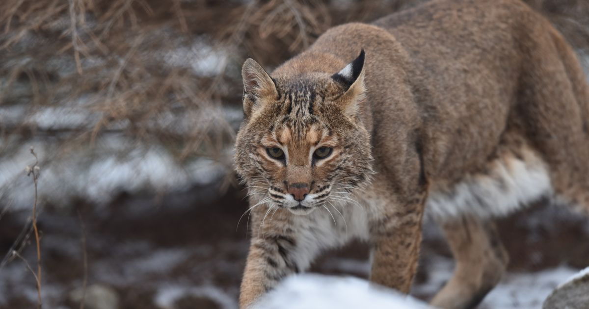 bioPGH Blog Bobcats  Phipps Conservatory and Botanical Gardens  Pittsburgh PA