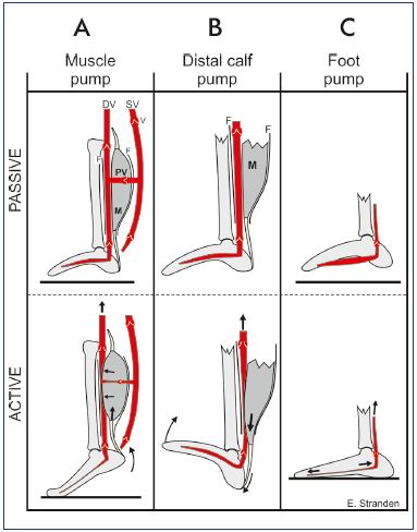 veins in the foot diagram combi boiler wiring venous system of anatomy physiology and clinical figure 5 mechanism action for distal calf pump panel a muscles