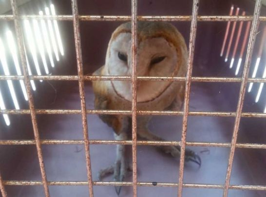 A barn owl about to be released into the wild.