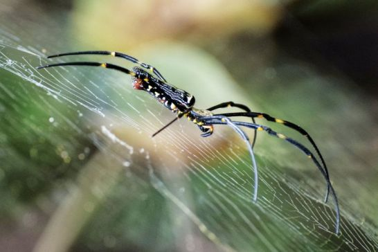 When walking in Koh Kong's forests, never take the lead – golden orb spiders love to string their webs across pathways.