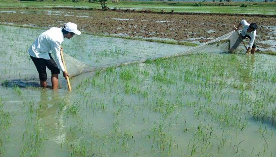 Farmers use a net in an attempt to clear army worms off a rice crop in Tbong Khmum earlier this week. Photo supplied
