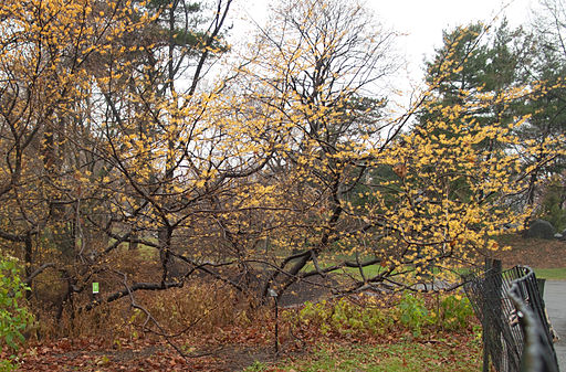 Witch Hazel Tree Central Park Winter