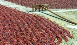 Man-Made – rake and rows of ripe red unhusked coffee beans
