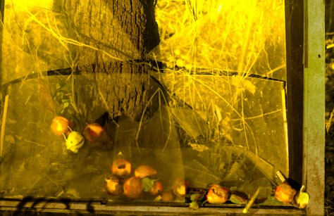 In yellow light, a creature is captured with fallen apples between panes of glass.