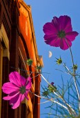 Conceptual, purple flowers and brick facade below half moon sky
