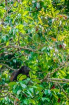 Life – howler monkey in a tree looks for ripe fruit