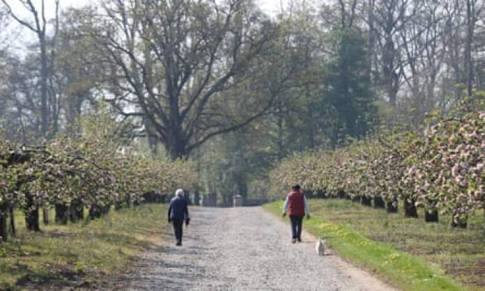 Avenue of apple trees at Ardress House