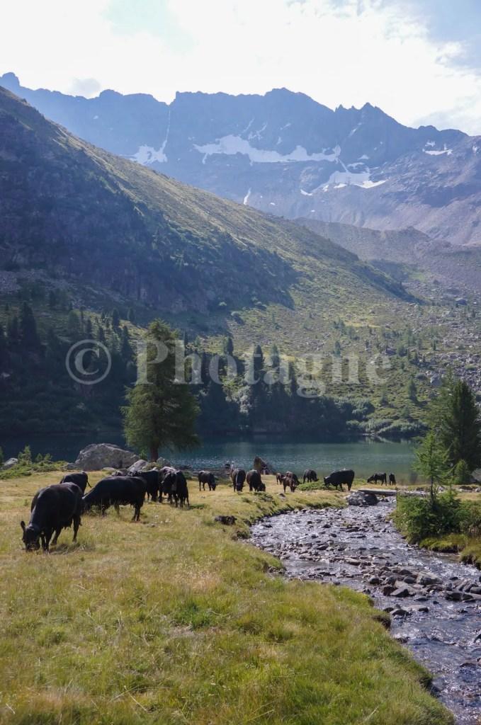 Vaches lac Campo
