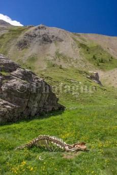 Une carcasse de vache au lac de Plan Vallon