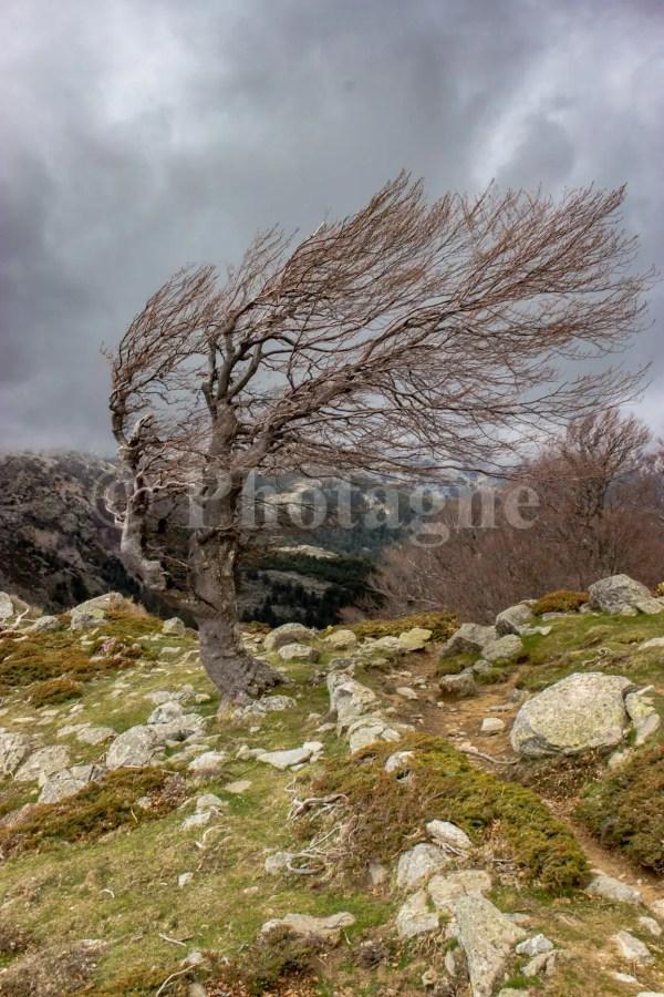 Hêtre sculpté par le vent en Haute-Corse