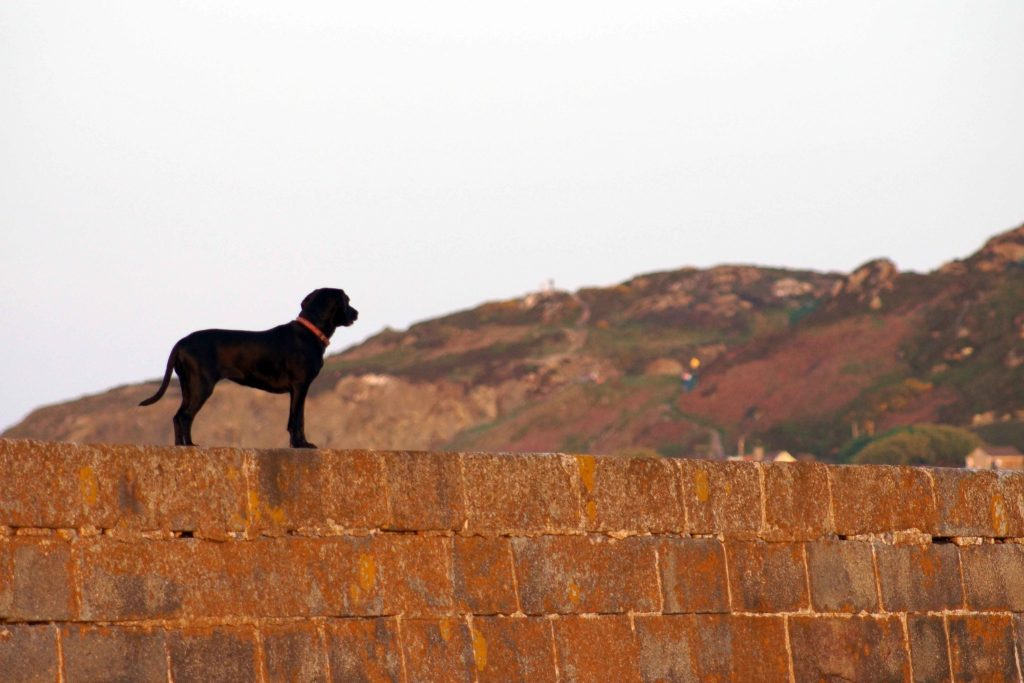 Dog walking on the Howth Pier wall Ireland