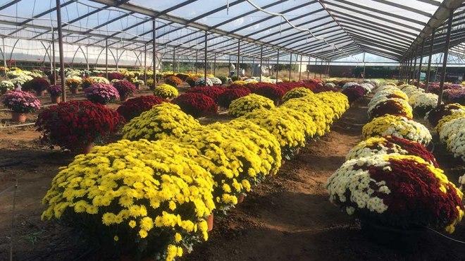 Chrysanthèmes pour la fête de Toussaint