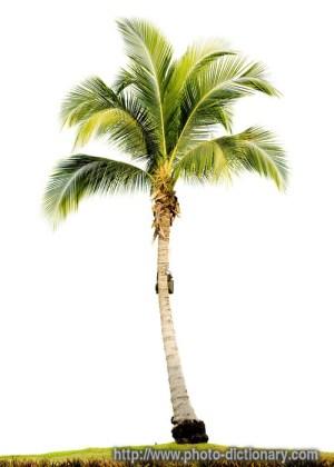 palm tree  photopicture definition at Photo Dictionary  palm tree word and phrase defined by