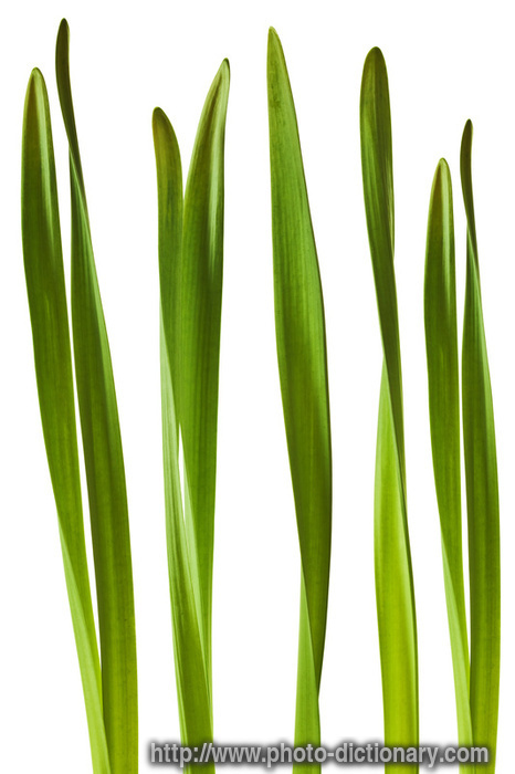 Daffodil Leaves Photo Picture Definition At Photo