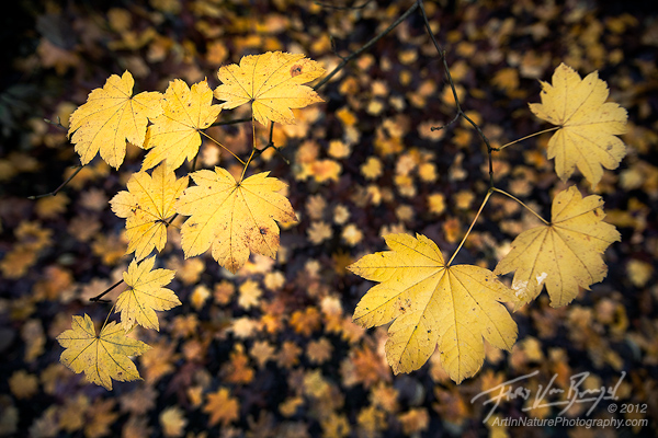 Autumn Maple Leaves, Carkeek Park, Seattle