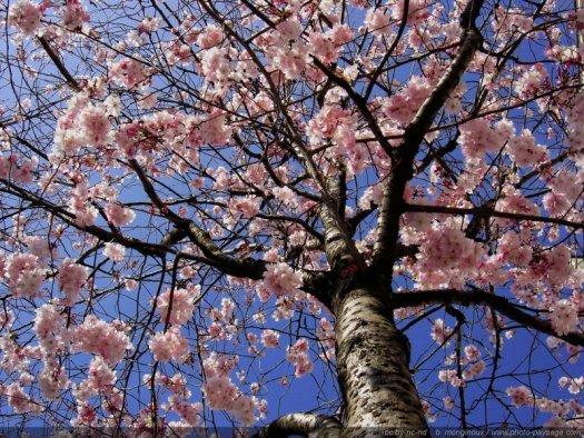 Un magnifique cerisier en pleine floraison photographié le jour de l'équinoxe du printemps 2005 sous un ciel bleu azur.