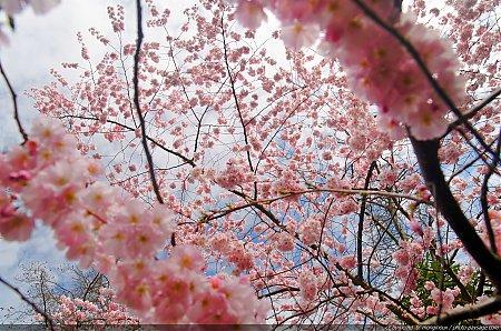 cerisiers photo paysage com photo