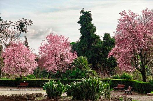 Trois arbres en fleurs.  Villa Borghèse, Rome, Italie