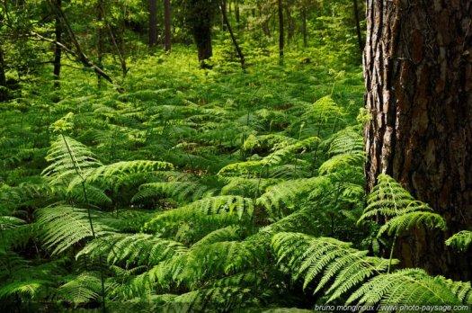 Immersion au milieu des fougères dans la forêt de Fontainebleau