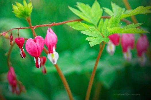 Coeur de Marie, ou Bleeding Heart (Coeur-Saignant), magnifique fleur de couleur rose et blanche, en forme de coeur qui saigne, photographiée dans les allées de Central Park, à Manhattant (New-York, USA)