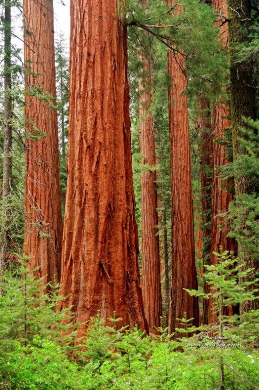 Dans la forêt de séquoias géants de Mariposa Grove. Yosemite National Park, Californie, USA