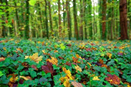Les premières feuilles mortes tombent sur sol recouvert de lierre