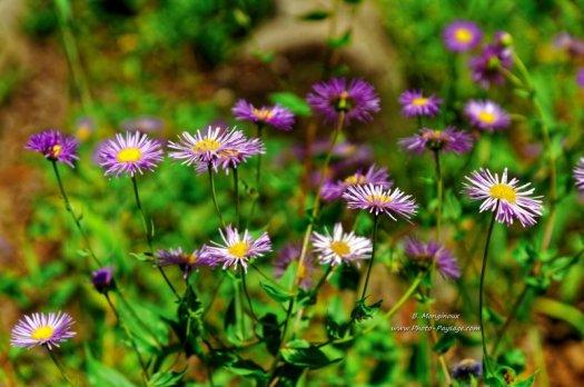 Fleurs sauvages au bord d'un sentier, dans le parc national de Grand Teton (Wyoming, USA)