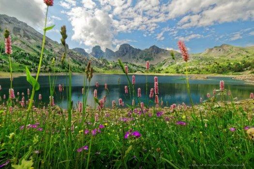 Des Renouées Bistortes, magnifiques fleurs de montagne photographiées au bord du lac d'Allos, à 2220 m d'altitude. Ce lac est le plus grand lac naturel d'altitude d'Europe.