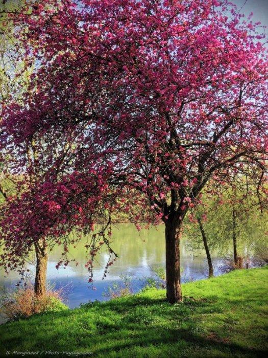 Un magnifique arbre en fleurs photographié sur les bords de la Marne, au niveau de Noisy-Le-Grand.