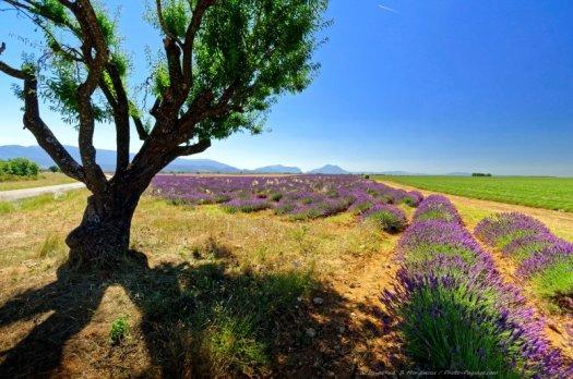 Un arbre au bord d'un champs de lavande sur le plateau de Valensole