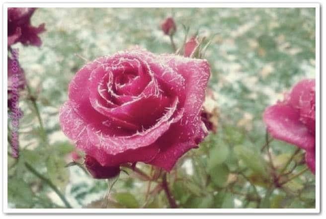صور ورود احلى صور ورود,زهور منوعة اجمل ورد ملونة